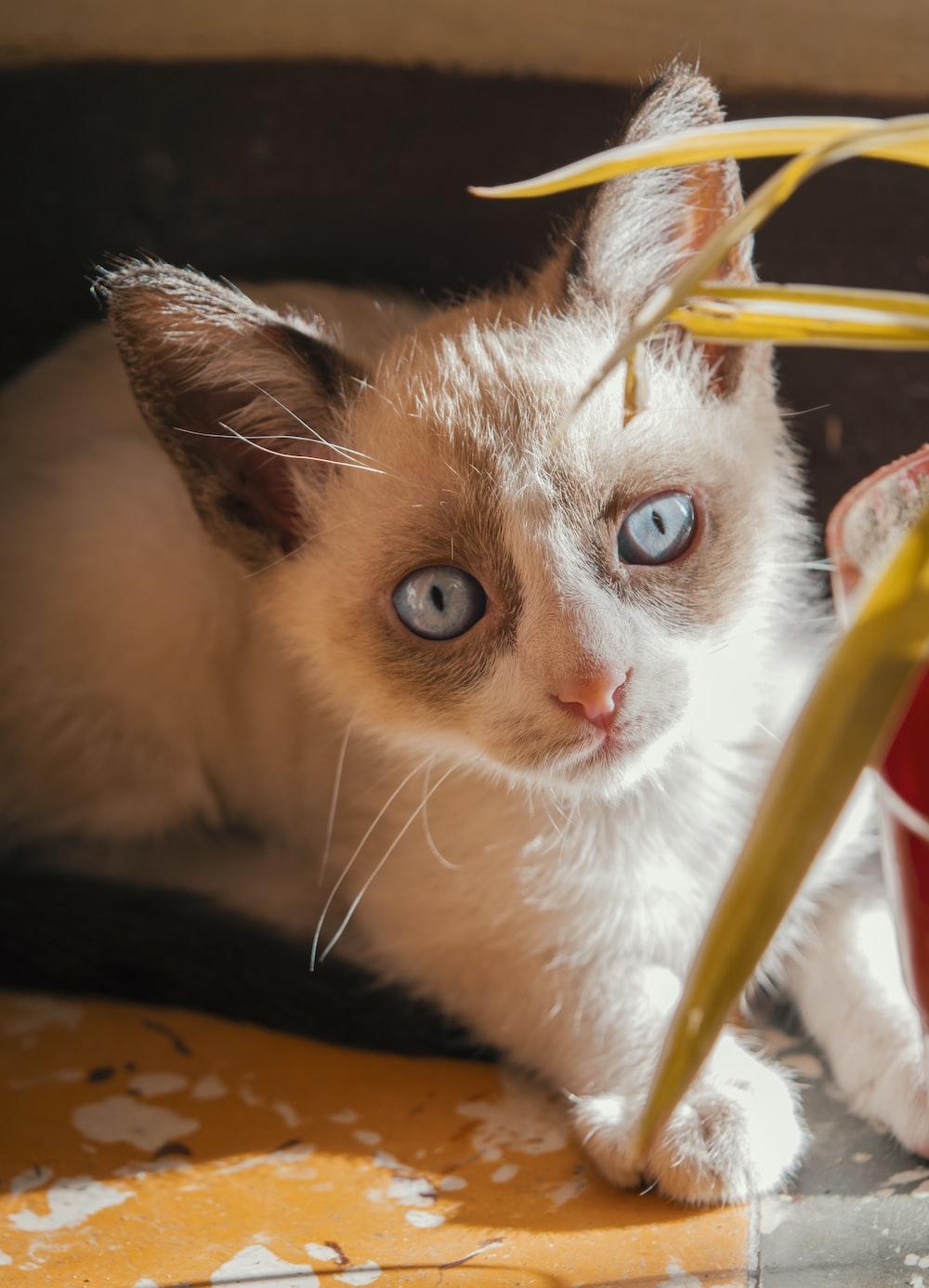 beige and grey kitten