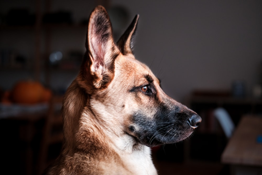 short-coat brown dog