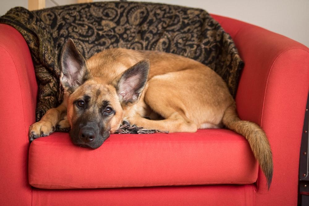 brown dog lying on red sofa chair