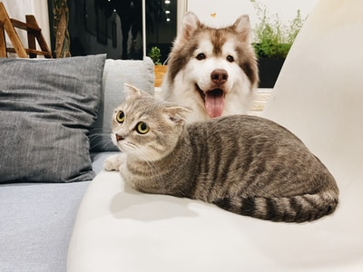 grey tabby cat beside short-coat brown and white dog