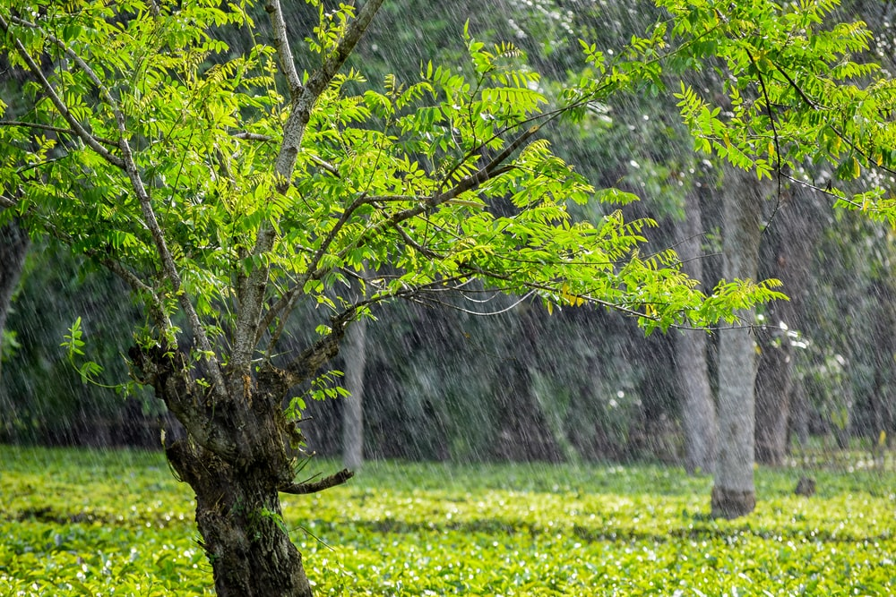 rain pouring over green-leafed tree