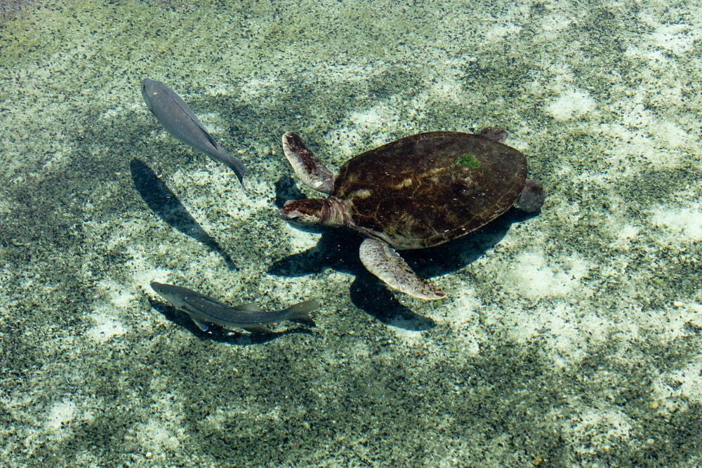 brown and gray turtle and two gray fish underwater