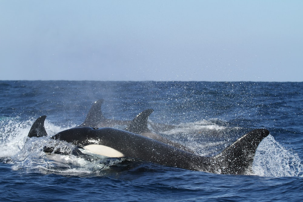 blue and white whales