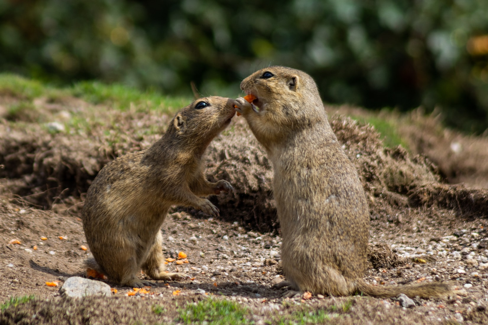 Ecology and Conservation of the Prairie Dog Grassland Ecosystem of  the Northern Chihuahua Desert, and Far-West Texas