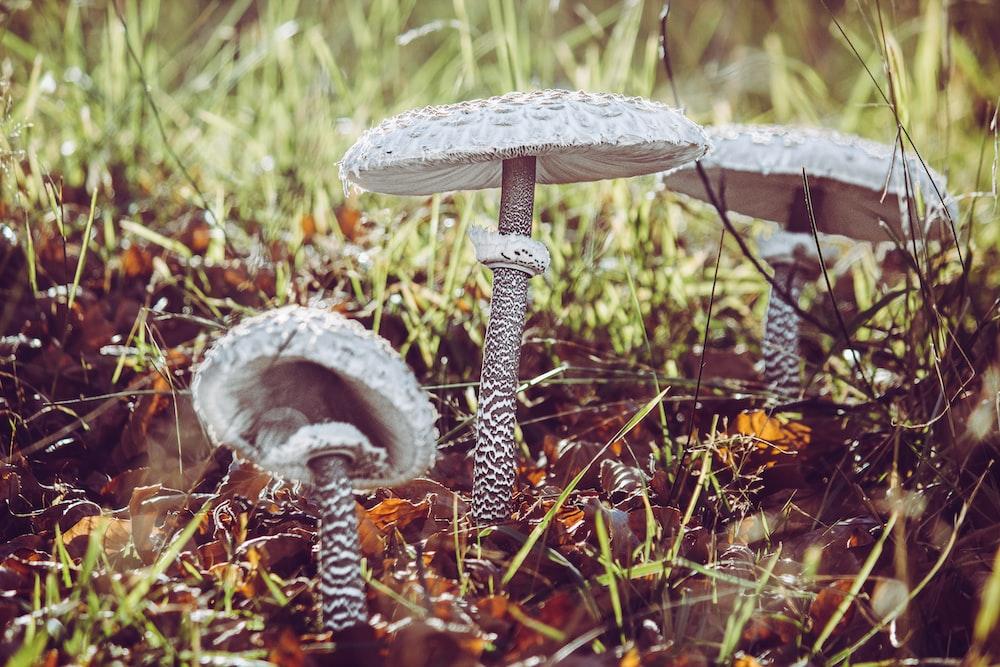 three brown-and-white mushrooms