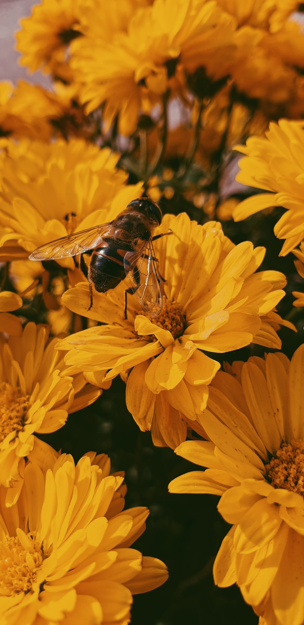 photo of brown and black bee on yellow flowers