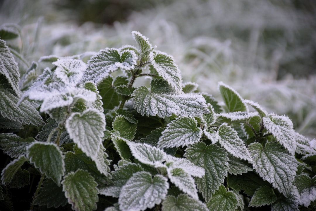 Frosted stinging-nettles on a cold morning in November