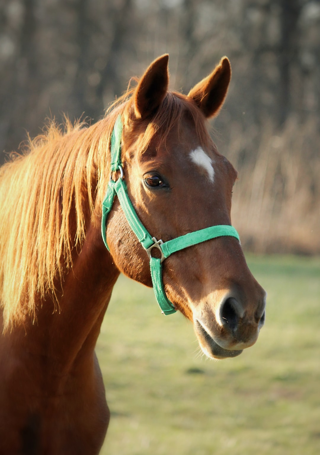 A thoroughbred horse in a mint halter stands in a field.