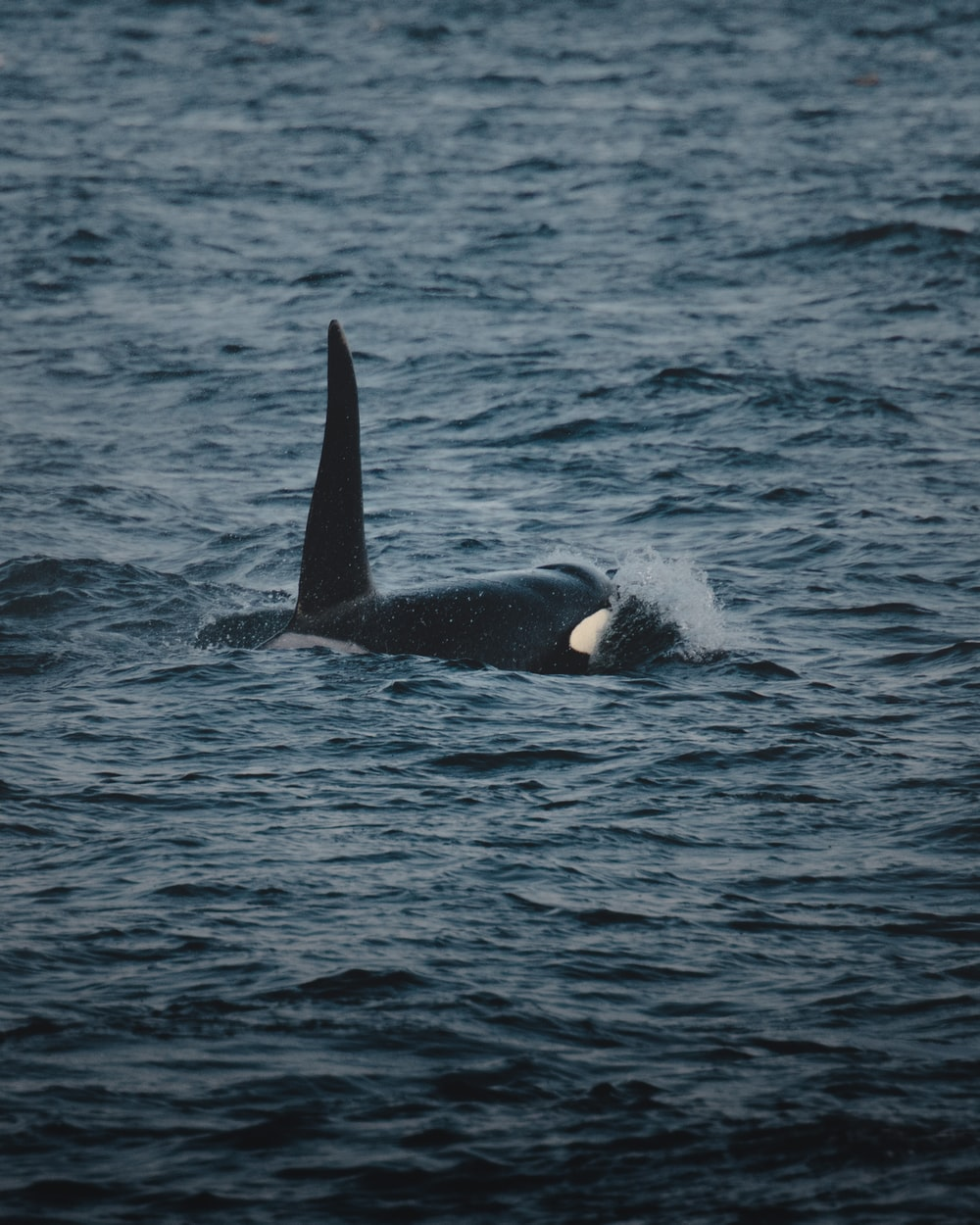Orca swimming away from shore