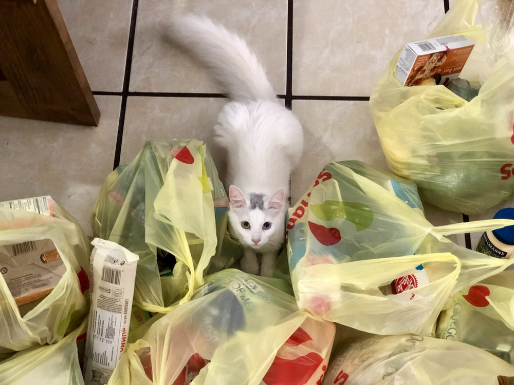 short-fur white cat