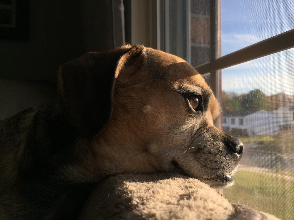 tan dog on window