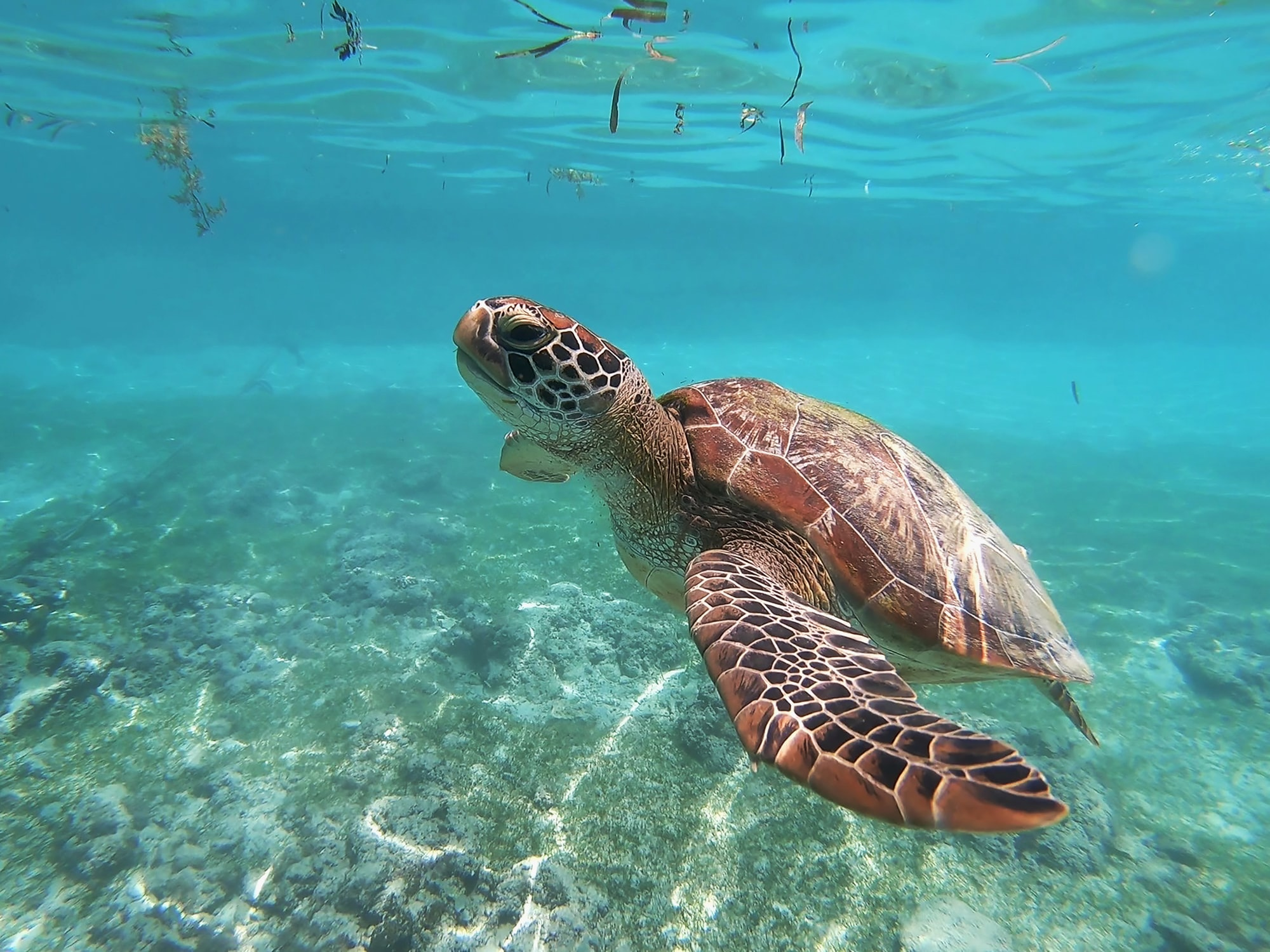 Dive with green sea turle in Moalboal, Philippines.