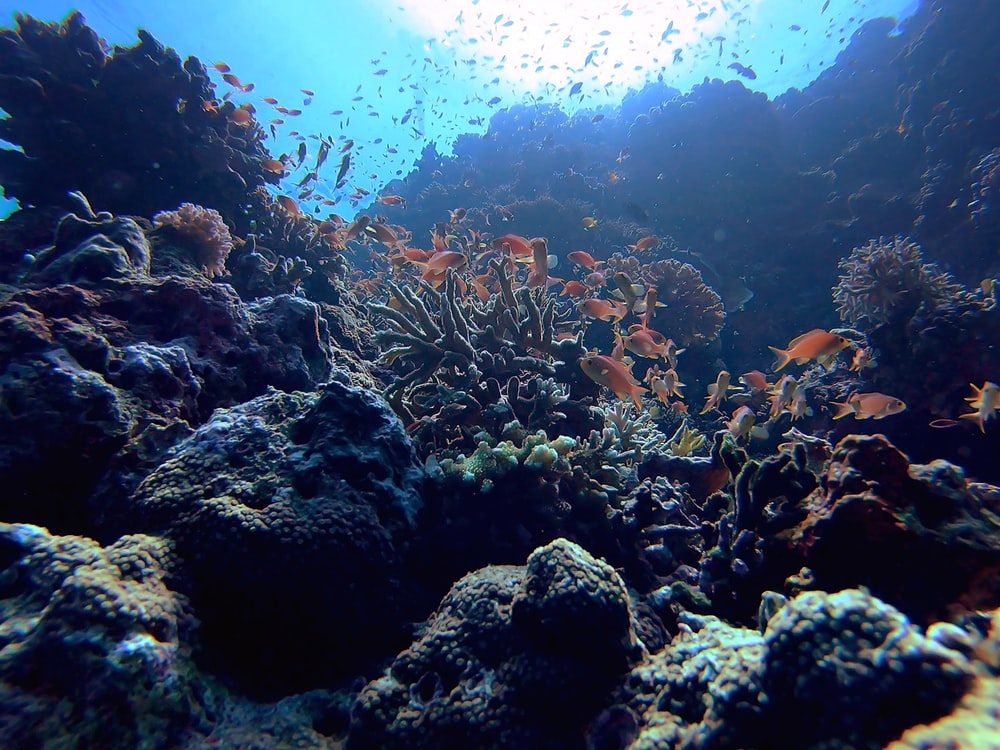 corals and school of fish