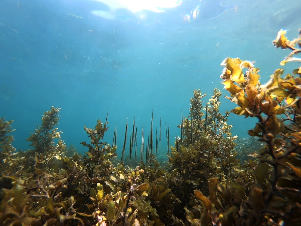 underwater photography of sea plants