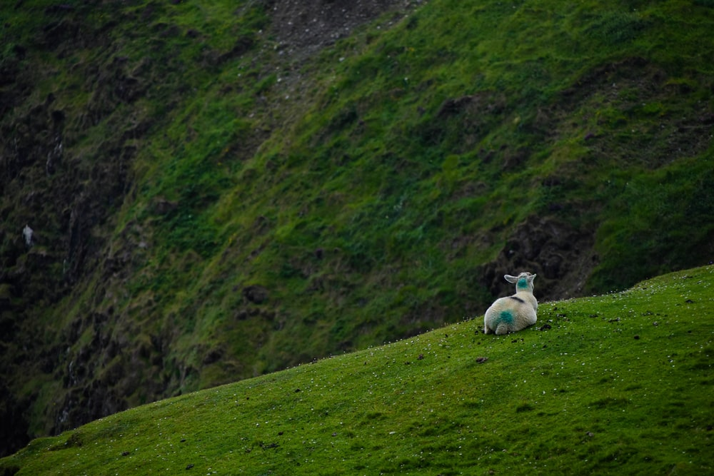 white goat and green grass field