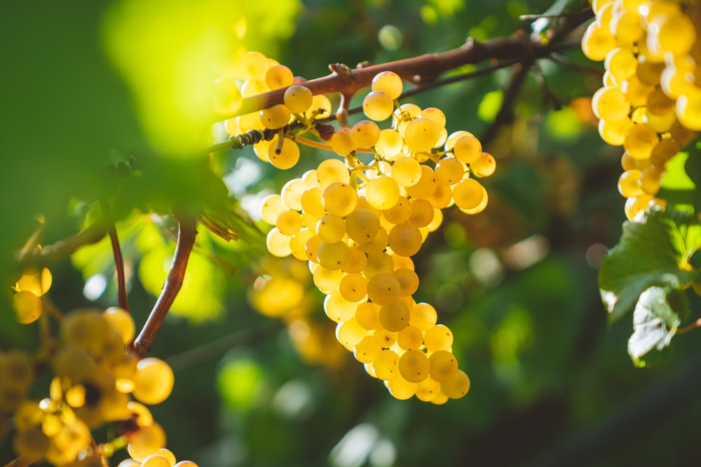 yellow grapes fruits