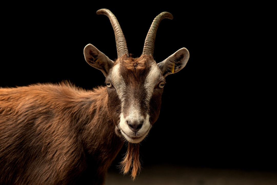 the goat is watching you