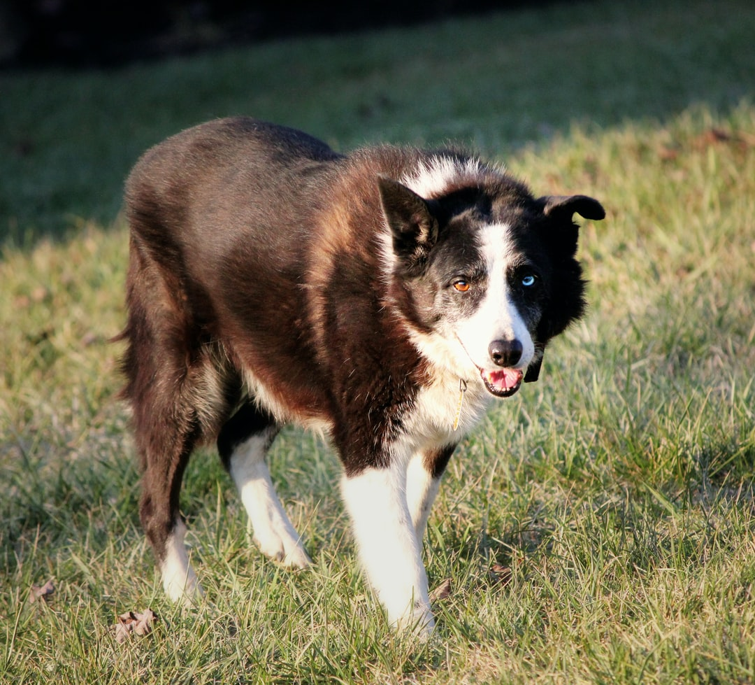 A Border Collie sheep dog with 2 different colored eyes stands in the grass.
