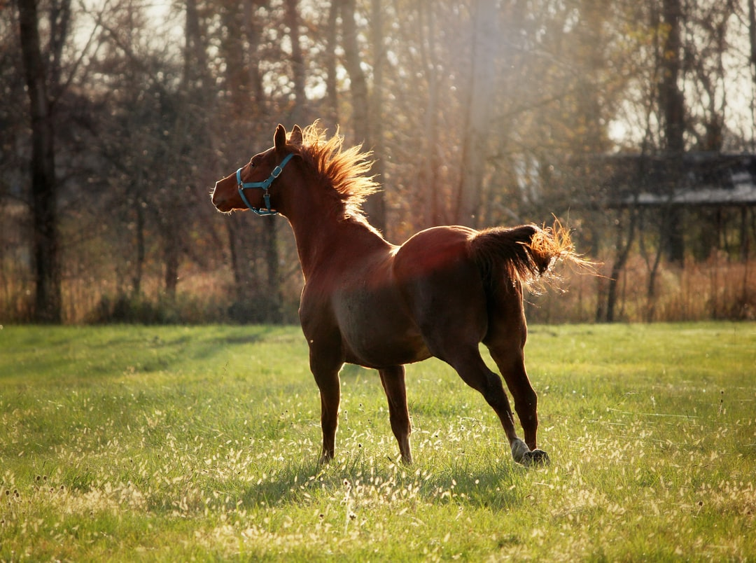 A thoroughbred race horse gallops through a field in a blue halter.