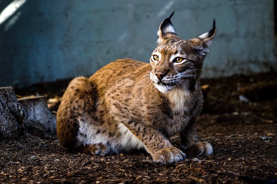 Swedish Lynx.