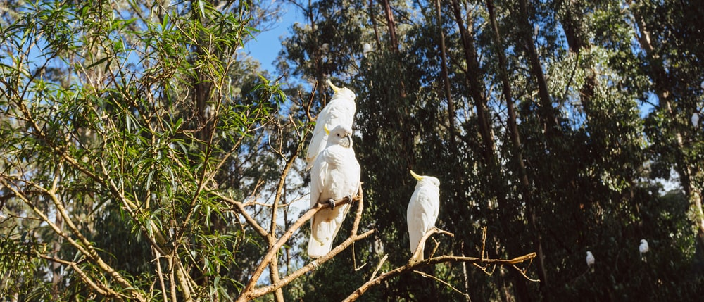 white cockatiels on tree