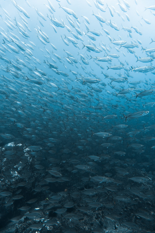 school of fish photograph