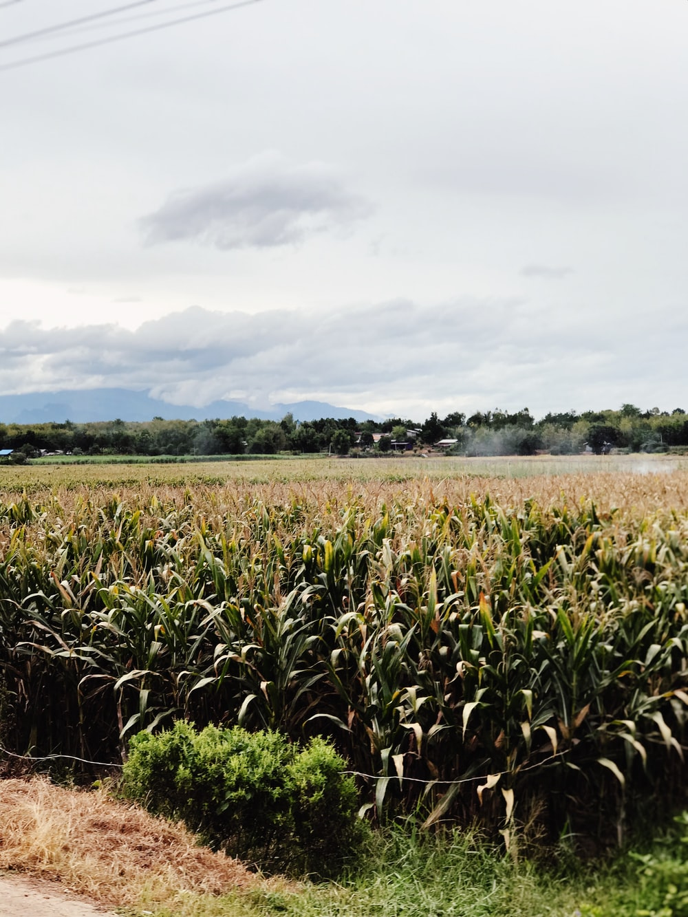 corn field during day