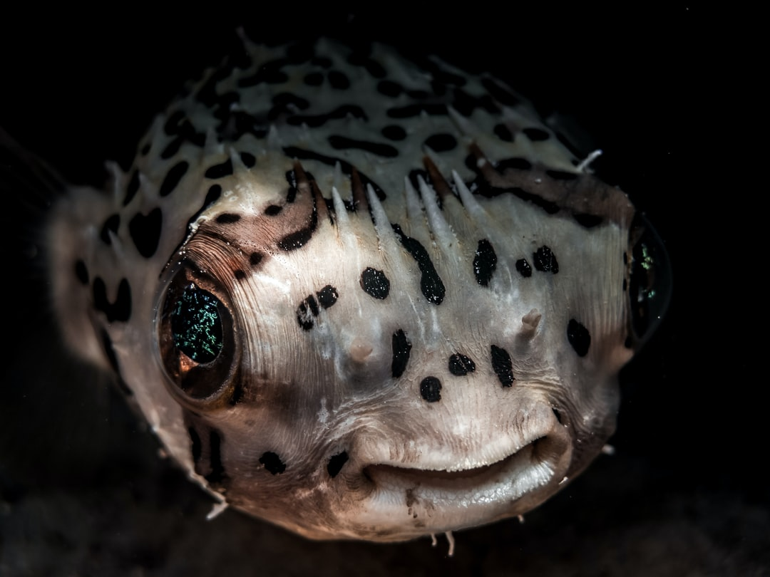 Puffer on the Reef at Turks and Caicos