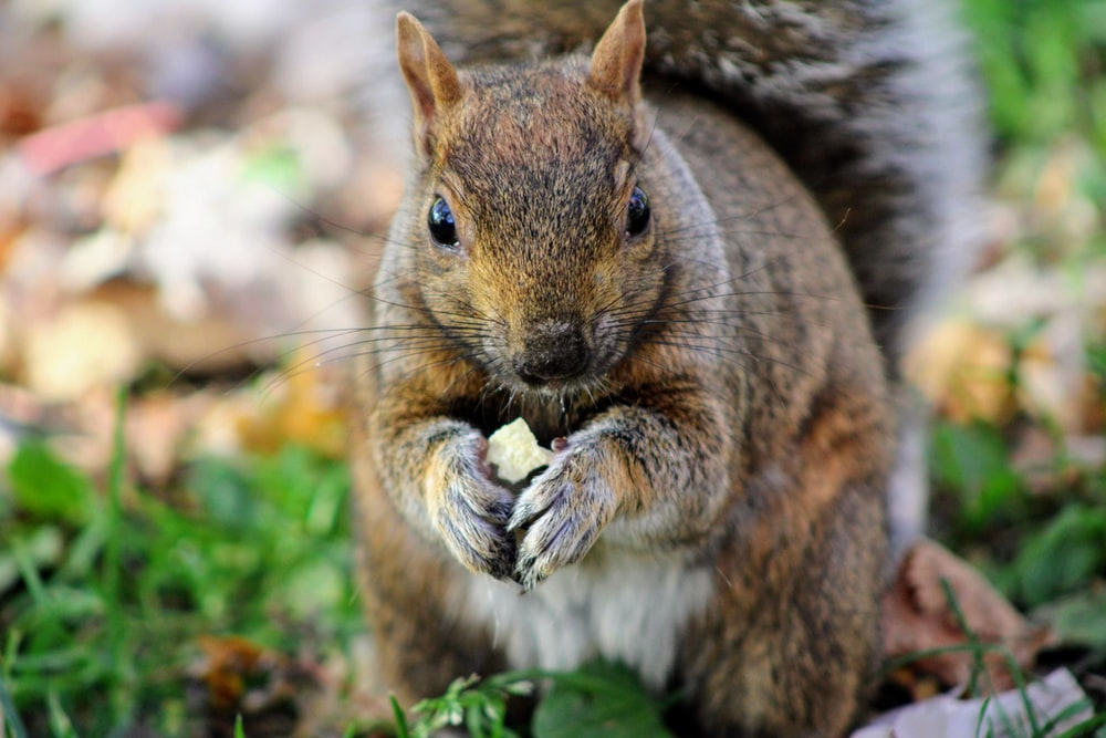 selective focus photography of gray squirrel during daytime