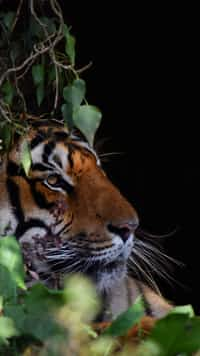 Tiger Girl tiger stories