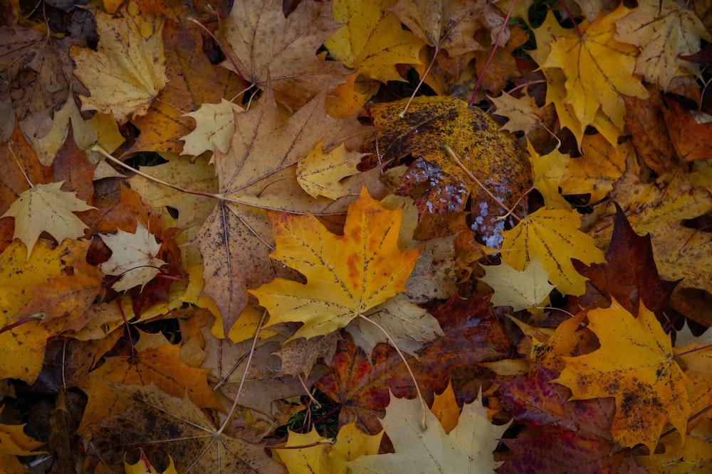 maple leaf photograph