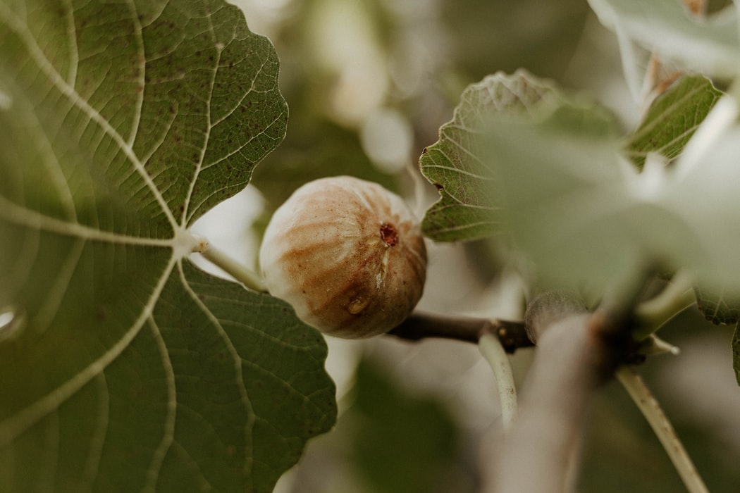 A  single fig on a fig tree