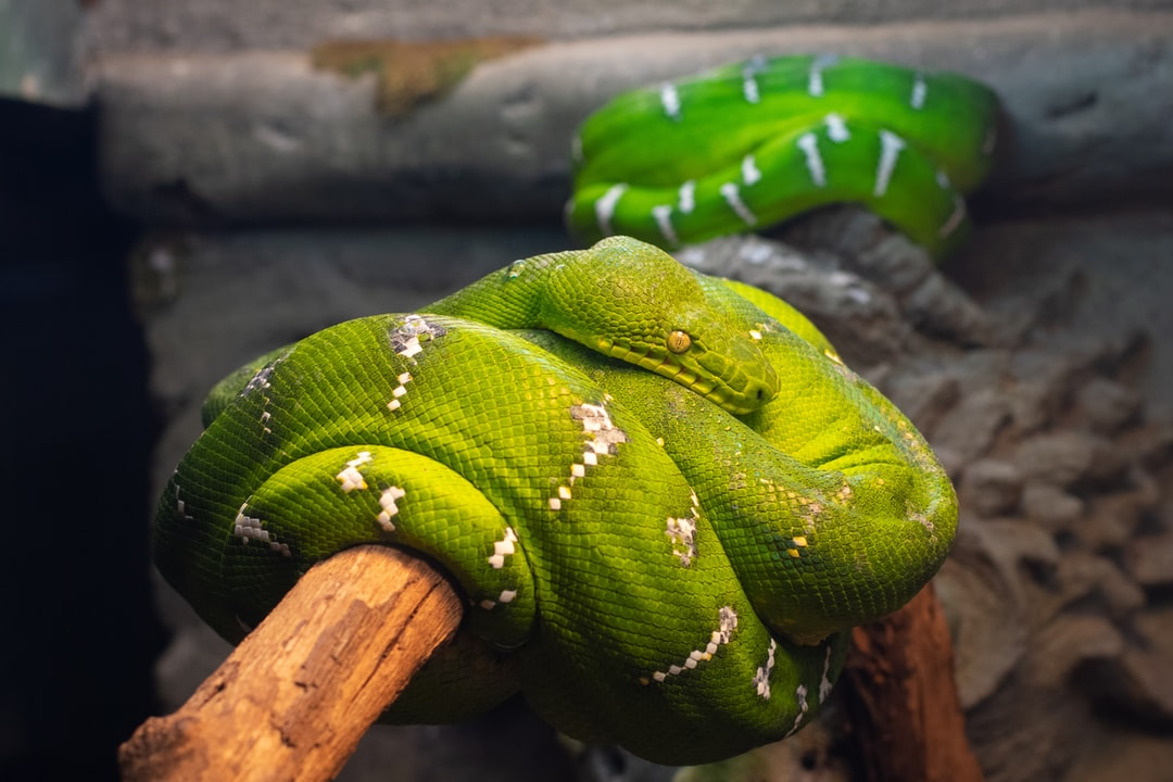 Emerald Tree Boas - Two Green Snakes