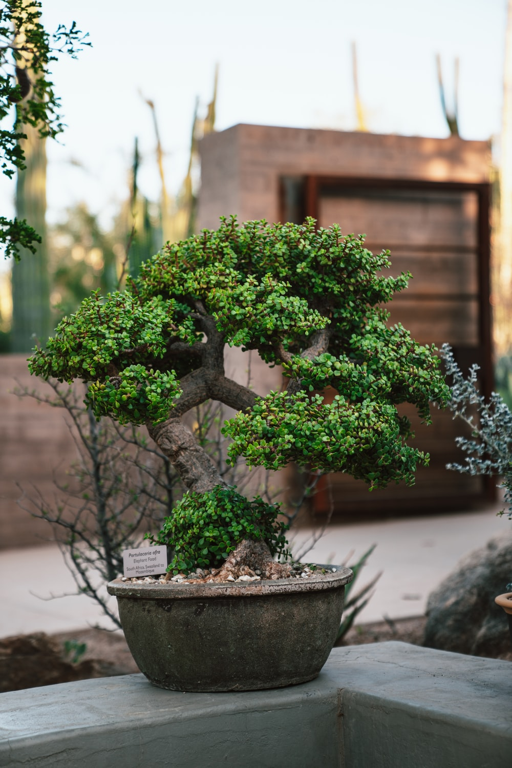 green-leafed bonsai plant