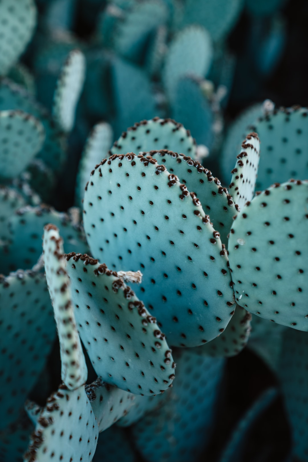 Dotted patterns on the leaves of a teal spineless cactus.