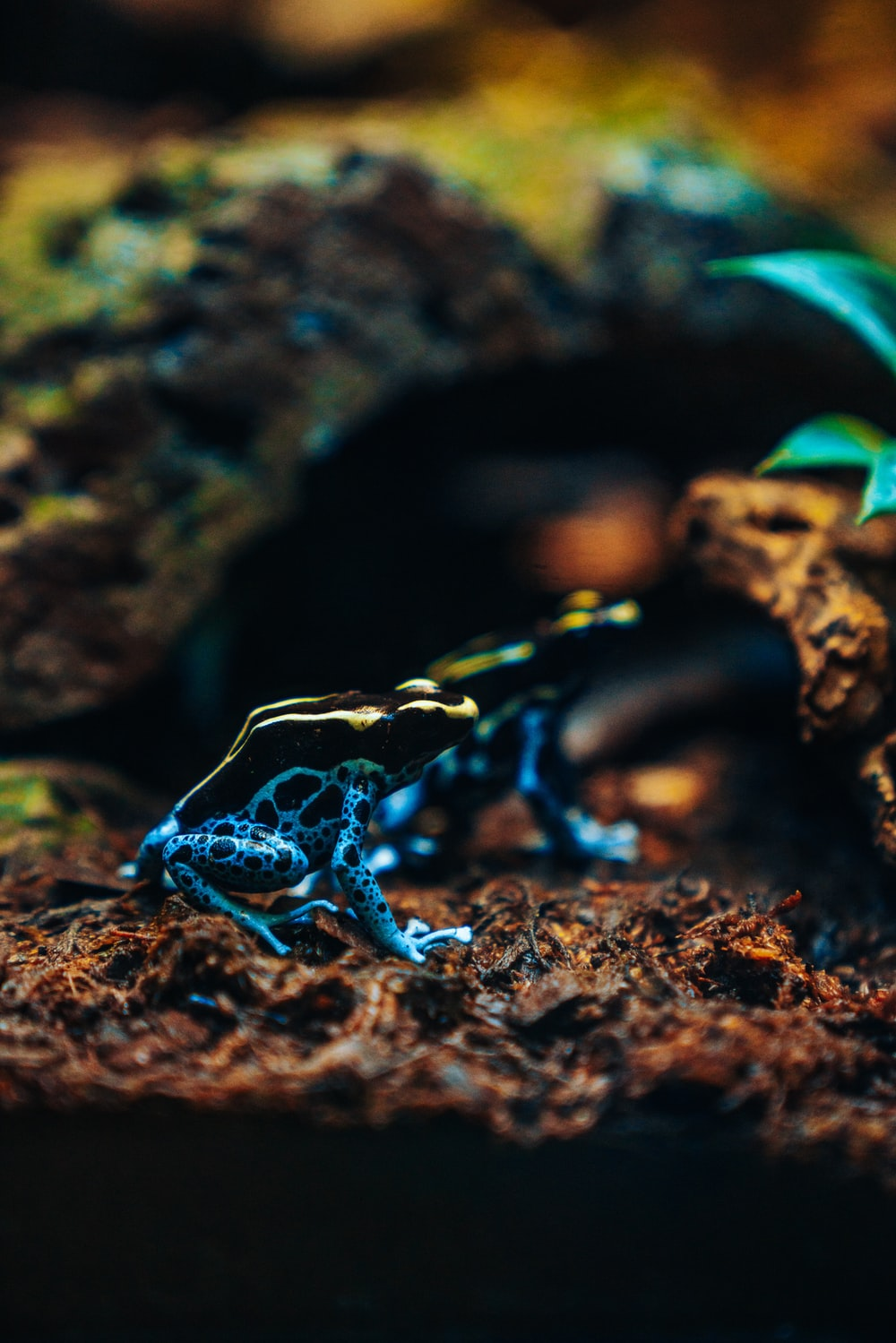 two blue-and-black frogs
