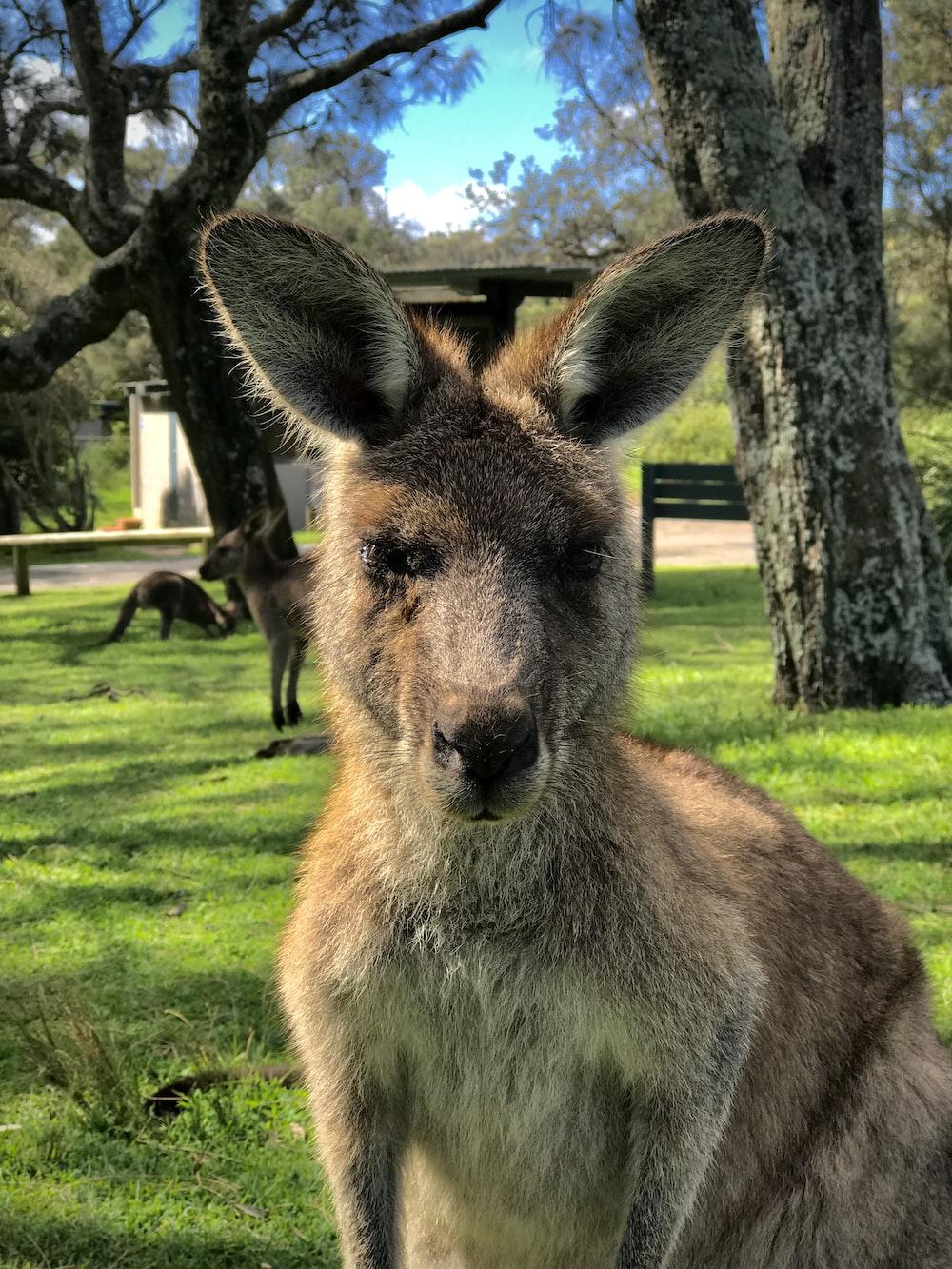 adult kangaroo near kangaroos and trees during day