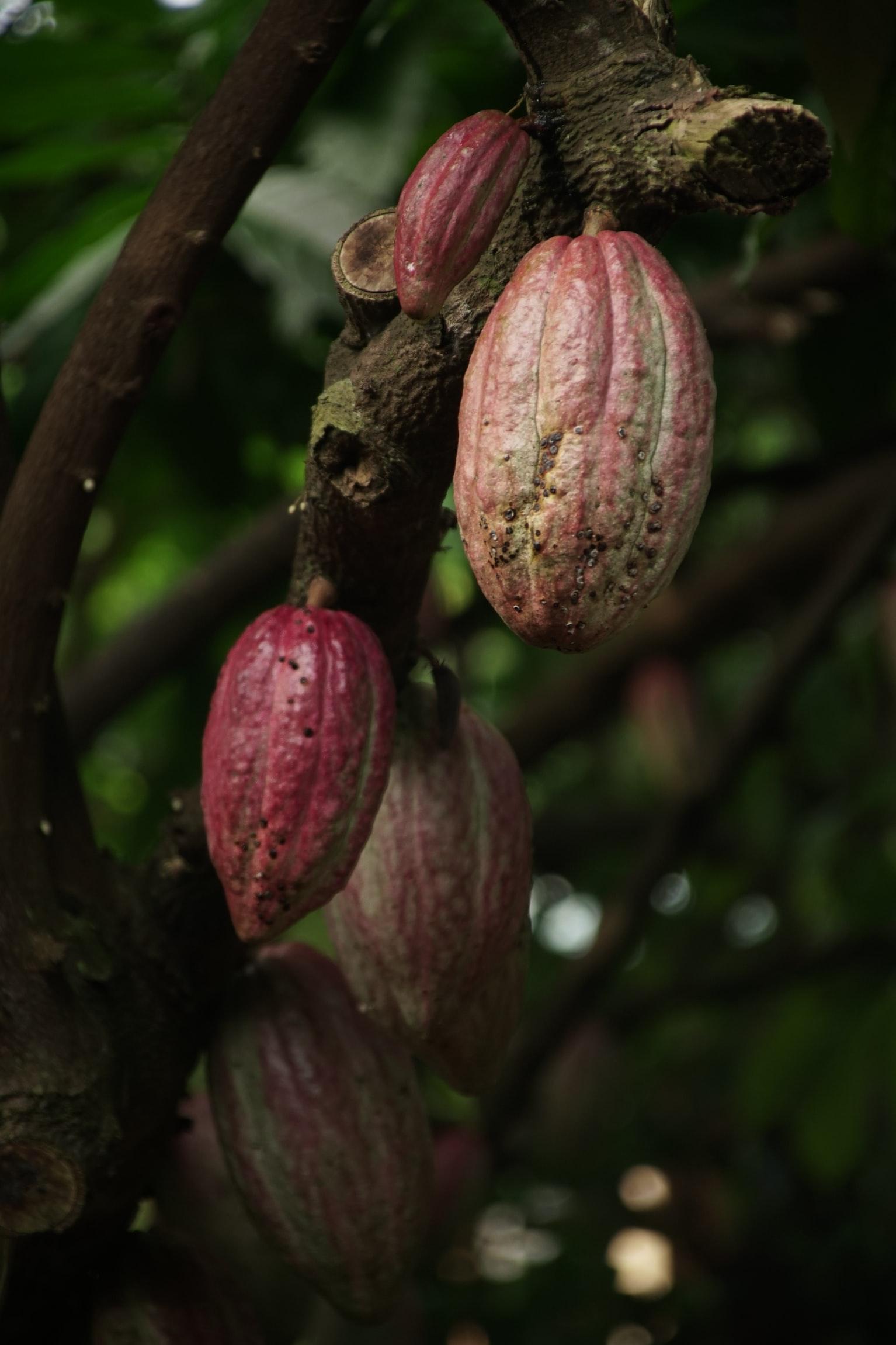 chocobeans