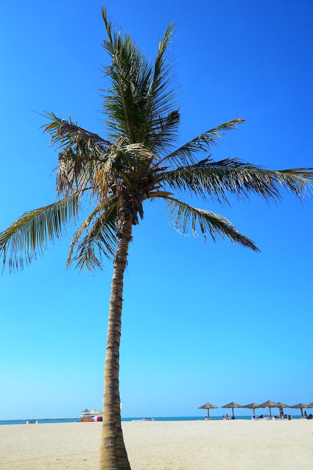 coconut tree photograph