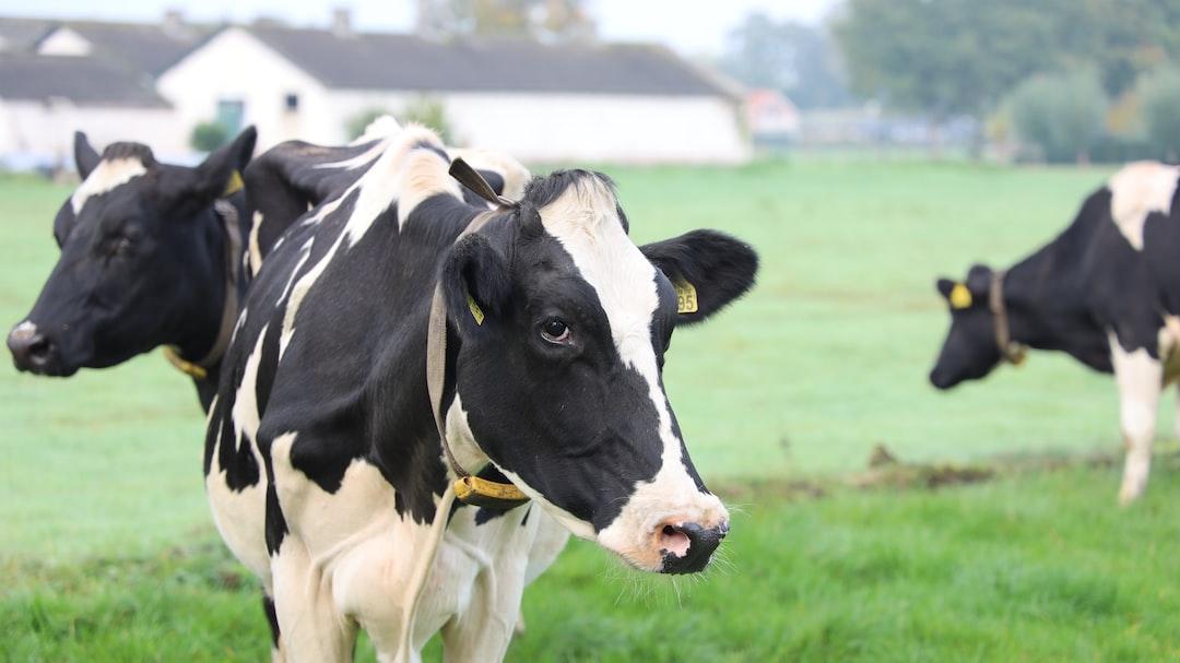 Cows on the meadow, rural town, Dutch cows
