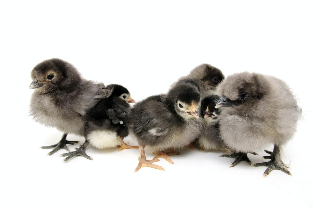 six gray-and-black chicks illustration