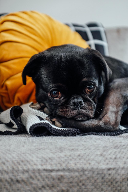 short-coated black puppy