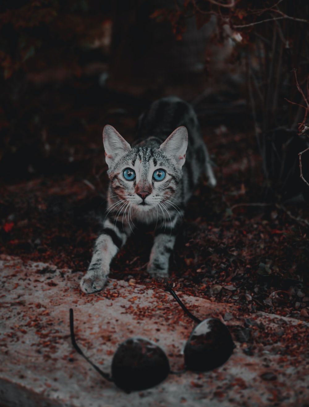 bengal cat with blue eyes near aviator-style sunglasses