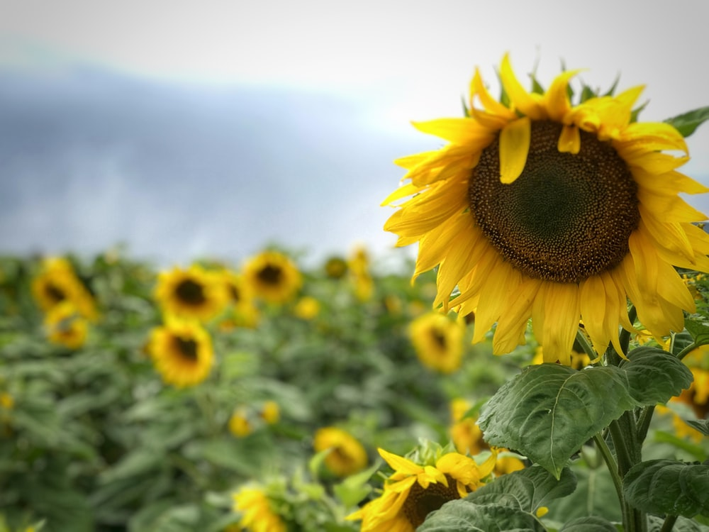 macro photography of blooming yellow sunflower field