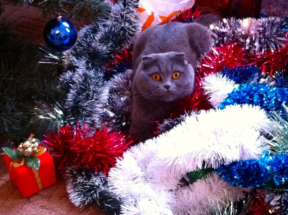 short-fur gray cat near Christmas tree