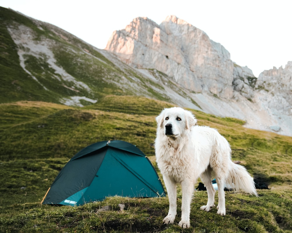 long-coated white dog near teal dome tent