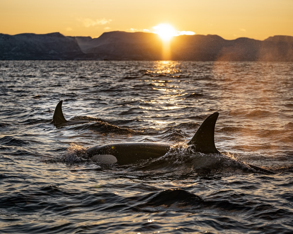 two black dolphins on body of water during sunrise