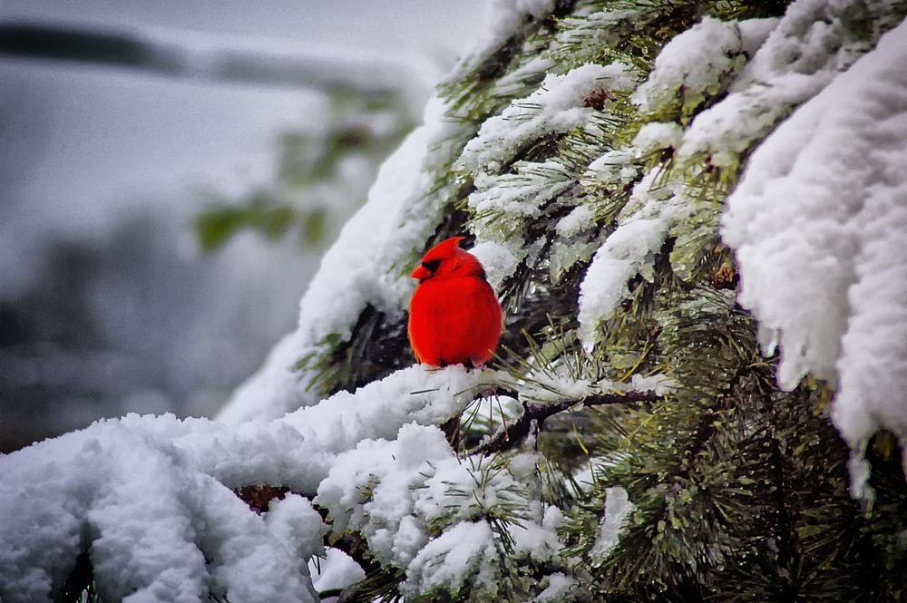 red cardigan bird