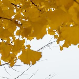 yellow maple leaf