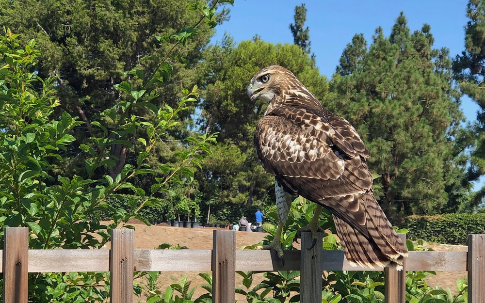 brown and white eagle on brown wooden fence surrounded with green trees